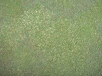 Poa invasion creeping Bent